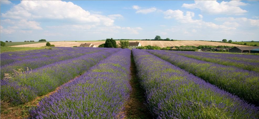 Lavender field in Provence version 2