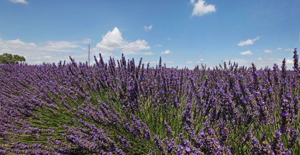 Field of lavenders
