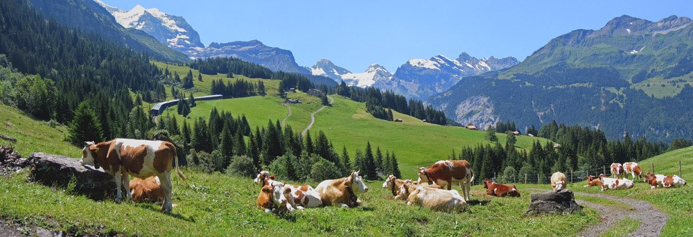 Red and white Holsteins grazing with a view at the snowy Alps
