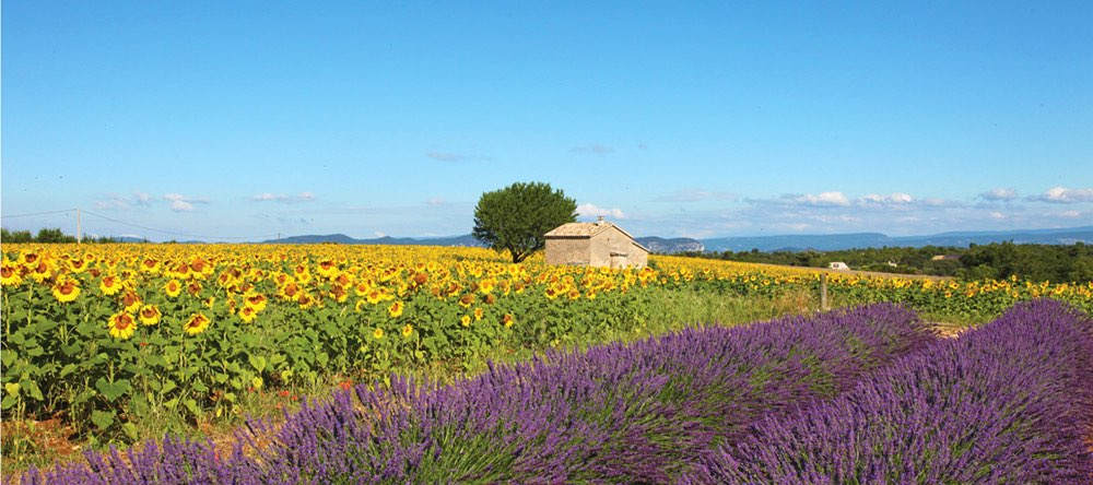 Panoramic view with a house, sunflower and lavender fields