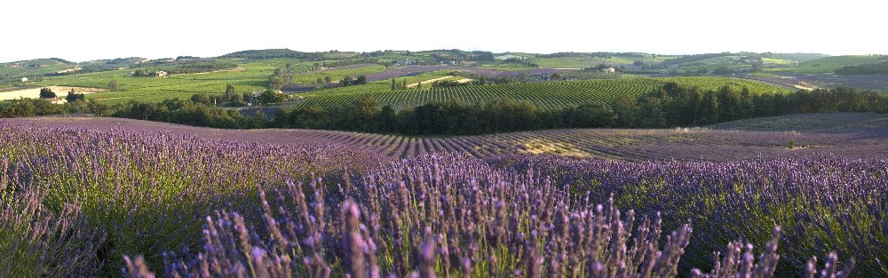Many lavender fields on a hill
