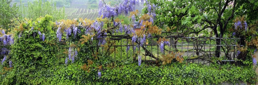 Blue Wisteria  panorama