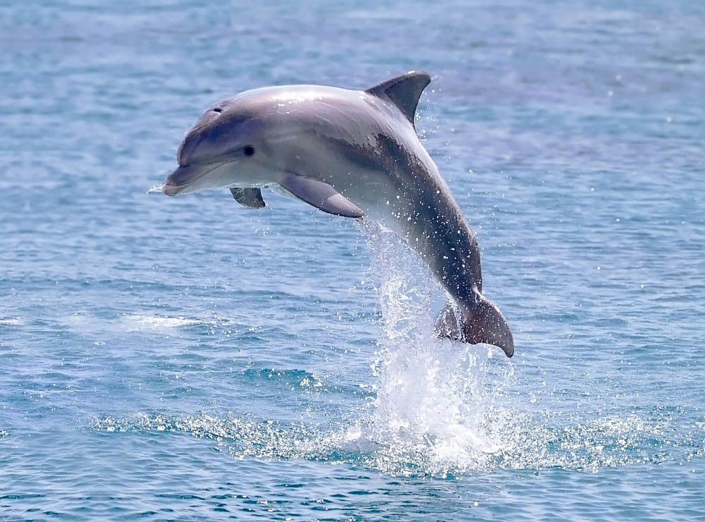 Dolphins for Is a dolphin a fish